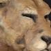 kényane tête de lionne